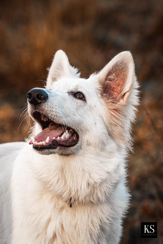 Zwitserse witte herder pup Rio December 2020 kopfoto
