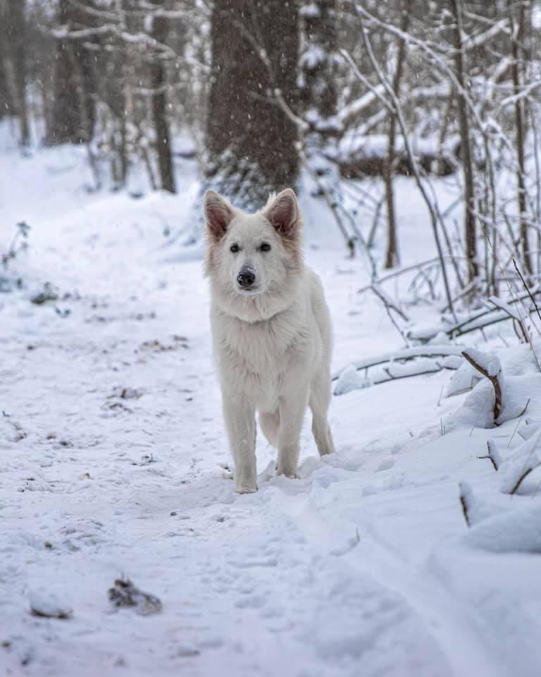 Zwitserse witte herder pup Rio februari 2021