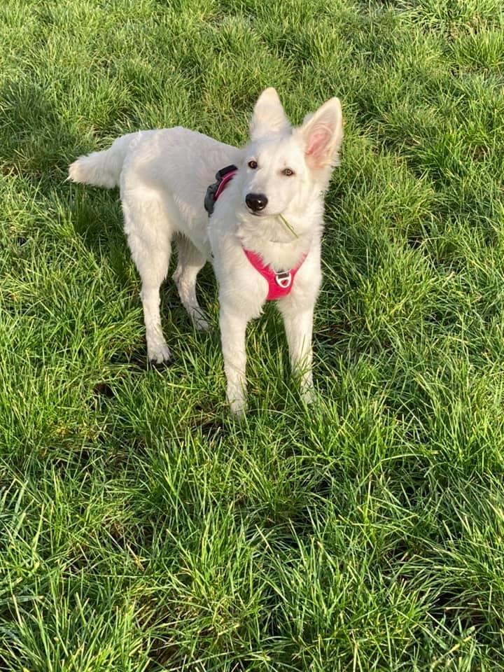 Zwitserse witte herder pup Raya