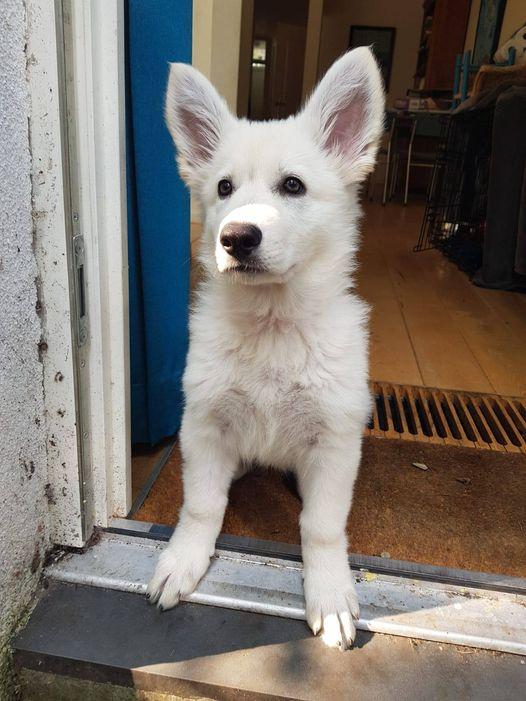 Zwitserse witte herder pup Rosie oktober 2020