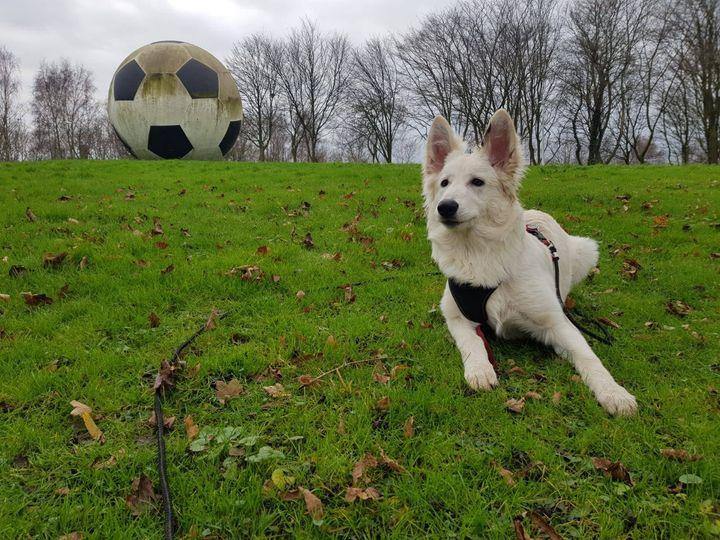 Zwitserse witte herder pup Rosie December 2020