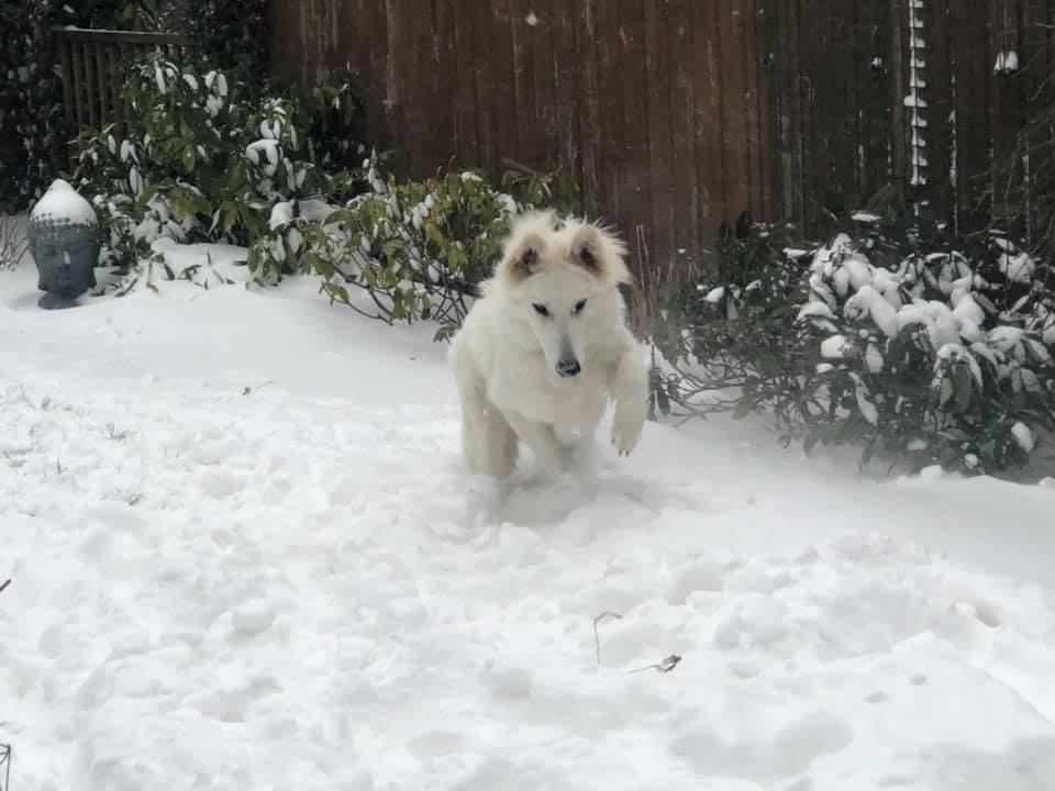 Zwitserse witte herder pup Roxy Pippa in de sneeuw februari 2021