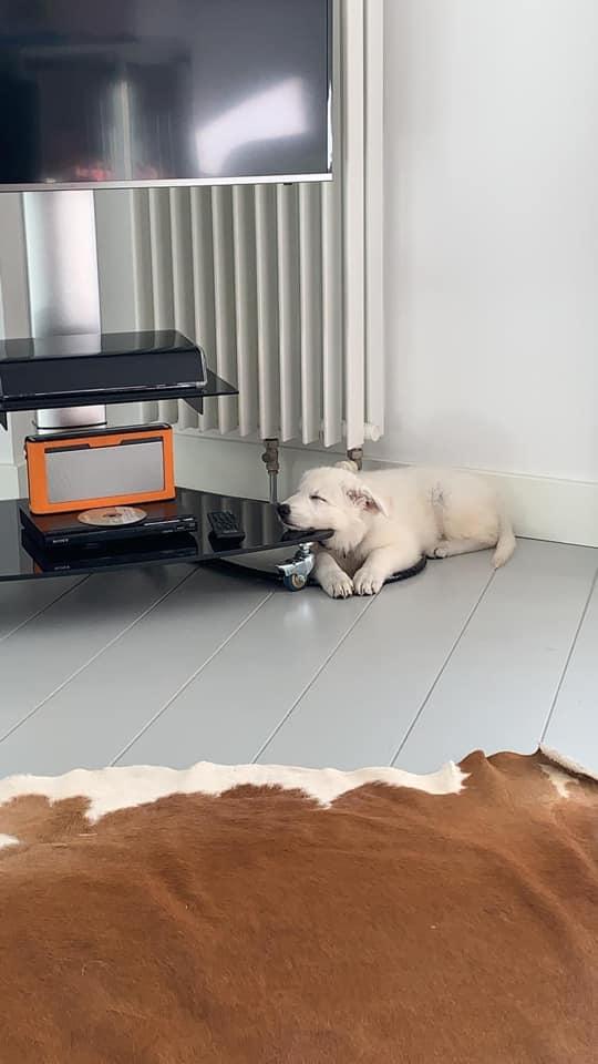 Zwitserse witte herder pup Femme augustus 2020