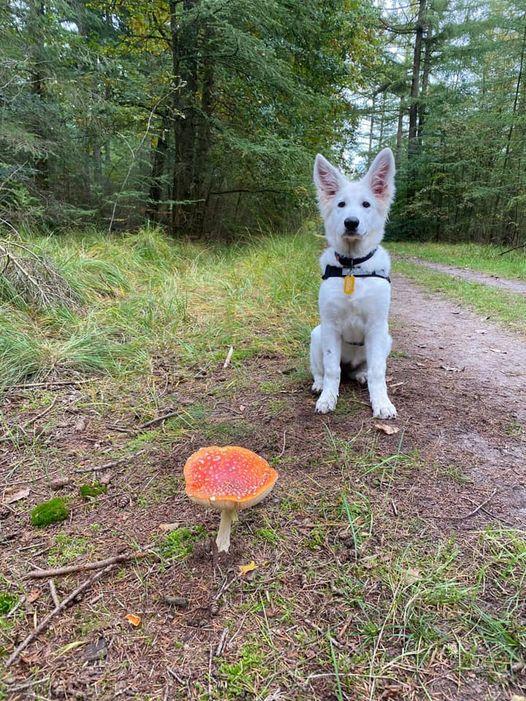 Zwitserse witte herder pup Femme in het bos oktober 2020