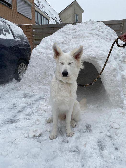 Zwitserse witte herder pup Femme Februari 2021