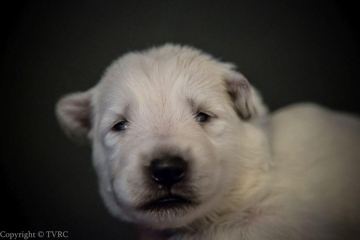 Foto's gemaakt op 15 juli 2020 van Zwitserse witte herder pup Blauw