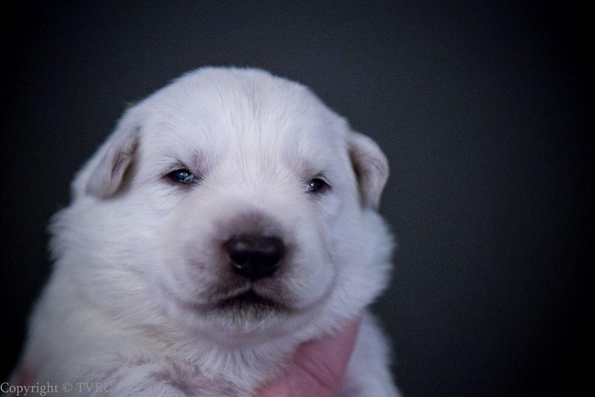 Foto's gemaakt op 15 juli 2020 van Zwitserse witte herder pup Geel
