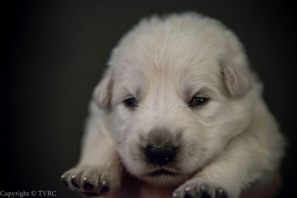 Foto's gemaakt op 15 juli 2020 van Zwitserse witte herder pup Oranje