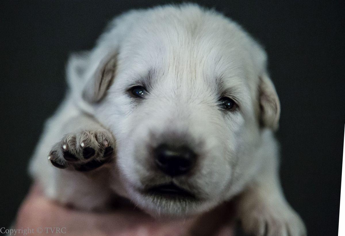 Foto's gemaakt op 15 juli 2020 van Zwitserse witte herder pup Beige