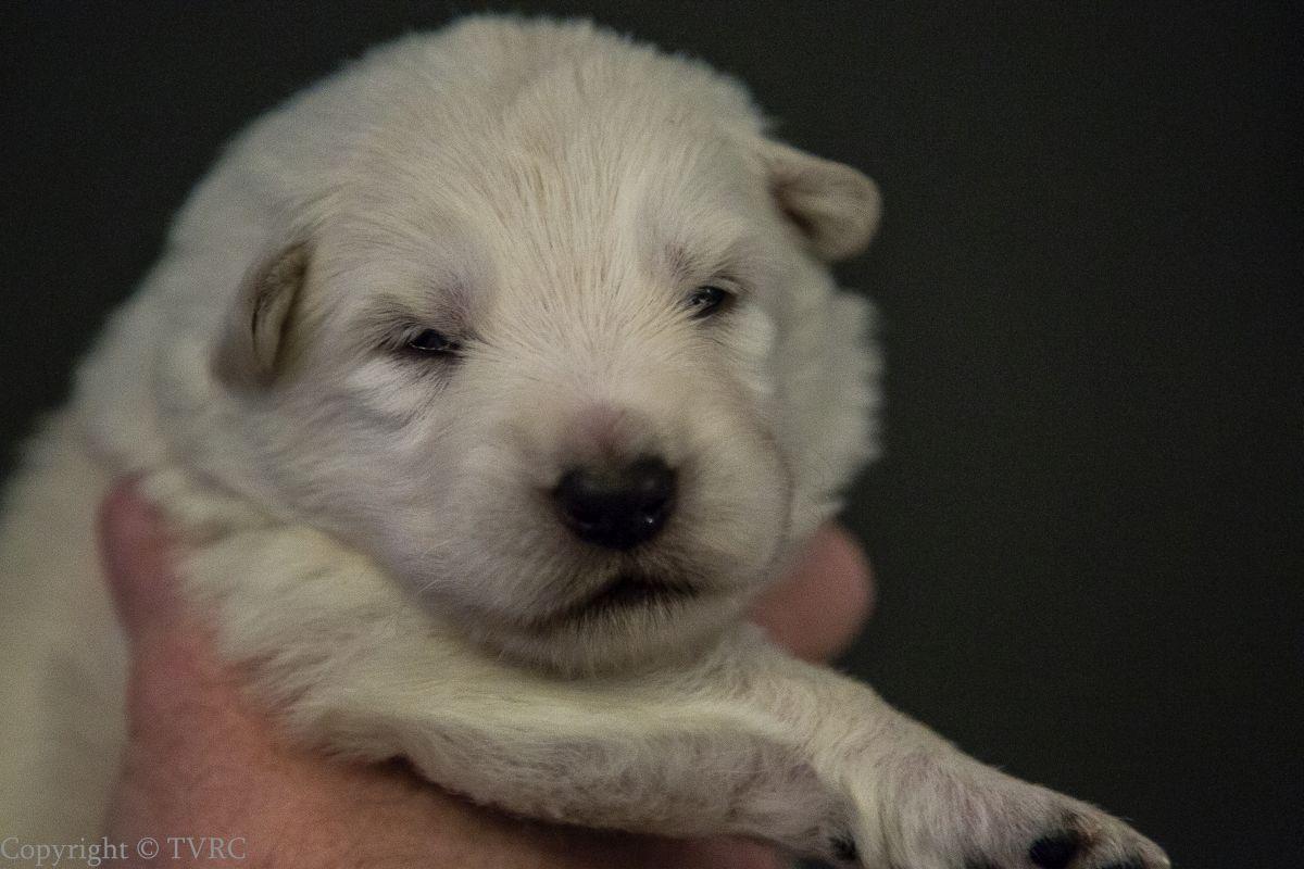 Foto's gemaakt op 15 juli 2020 van Zwitserse witte herder pup Paars