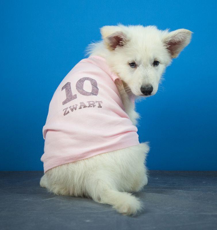 Foto van het Zwitserse witte herder Dames elftal pup 10 Zwart