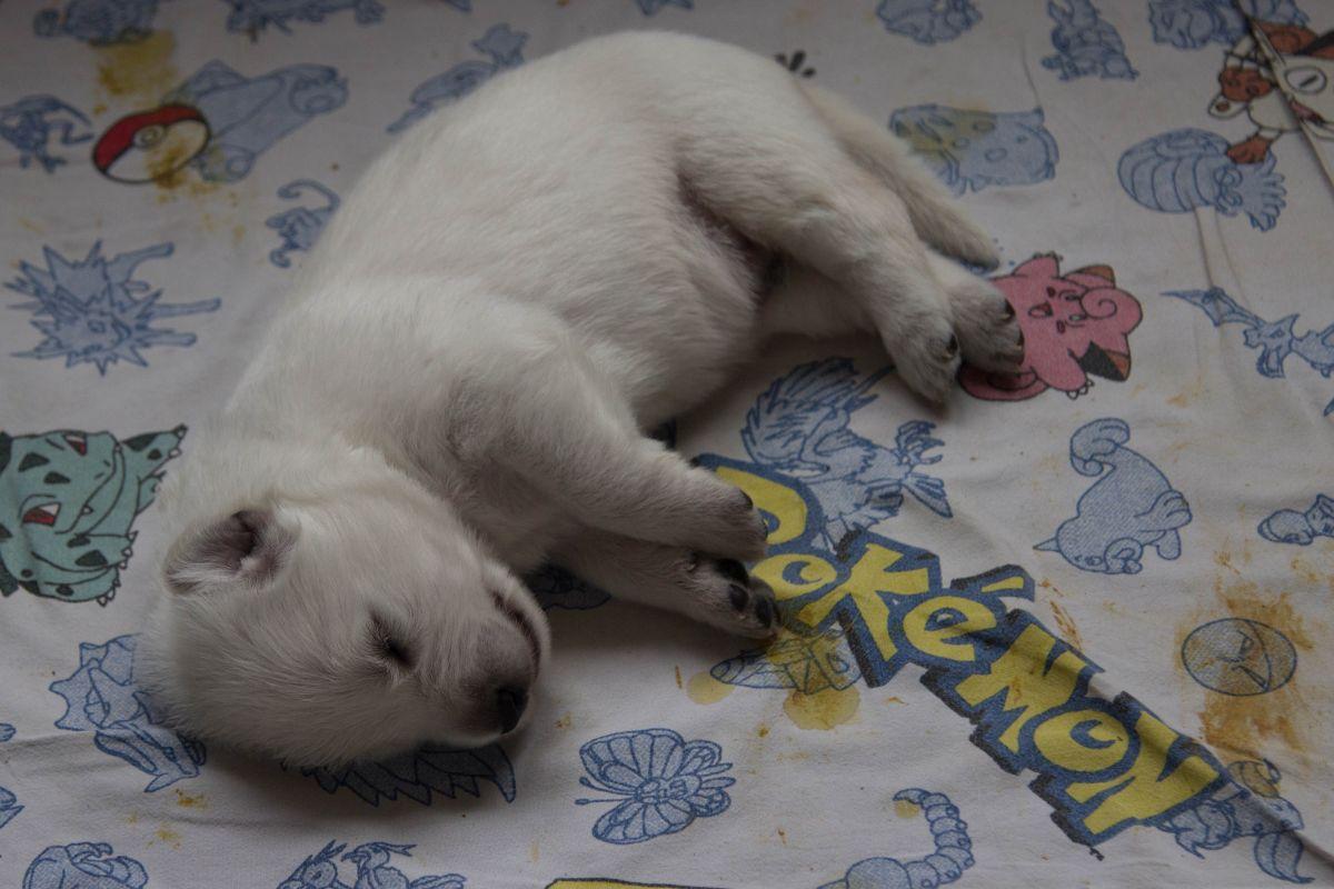 11 juli 2021, 14 dagen oud pup Silver 1