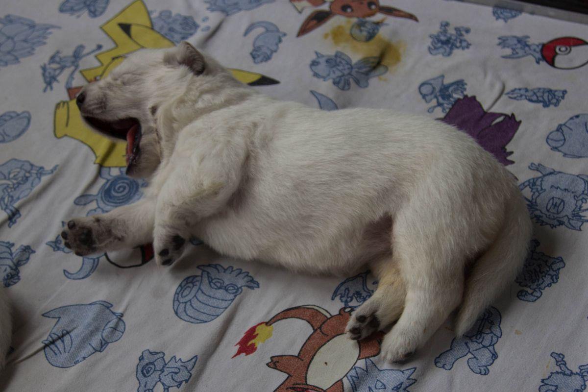11 juli 2021, 14 dagen oud pup Reu zonder